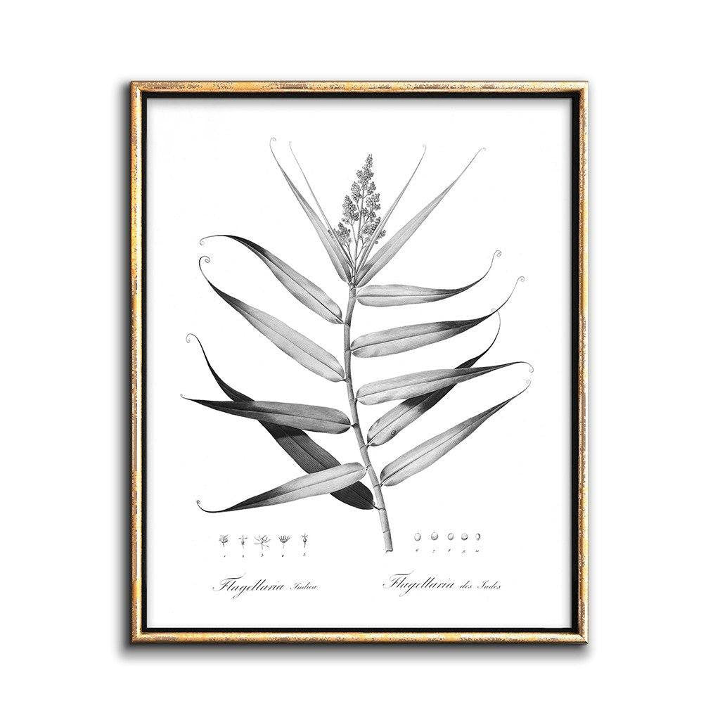 black and white botanical illustration of a whip vine