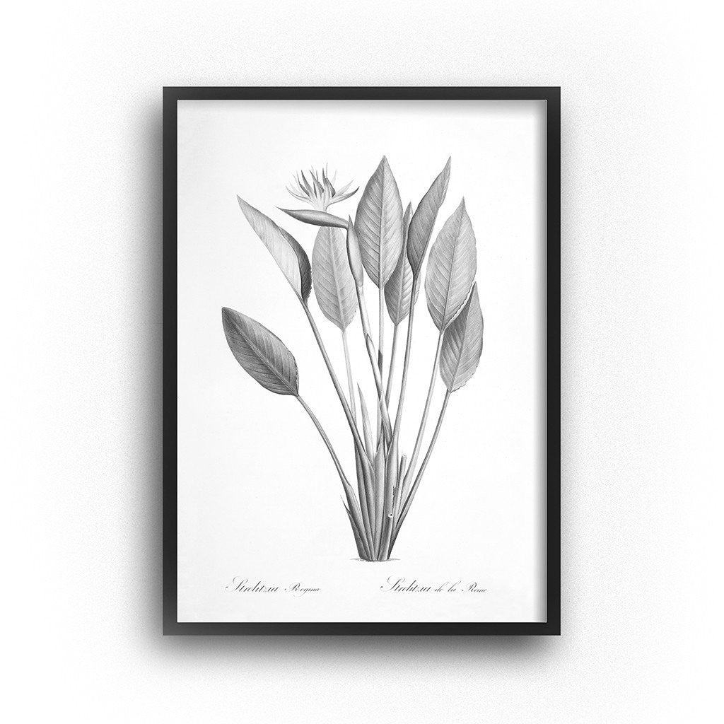 black and white botanical art bird of paradise print