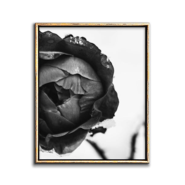 black rose botanical photograph