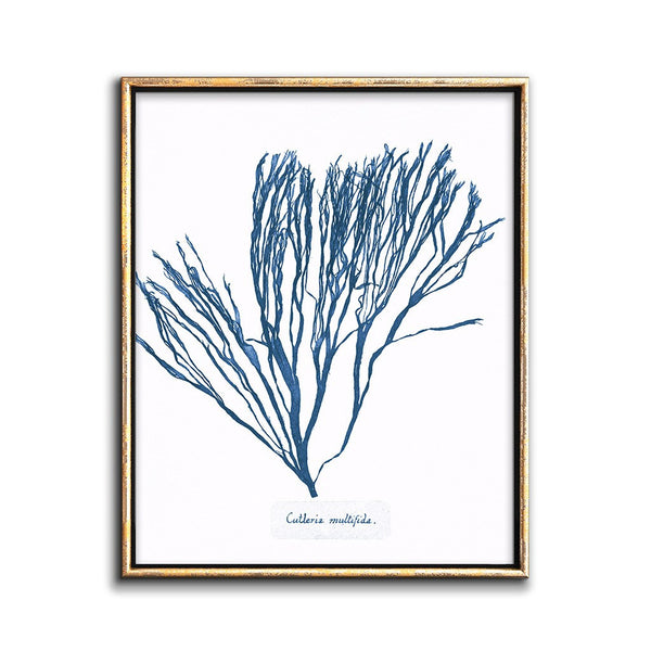 cyanotype negative botanical print of seaweed
