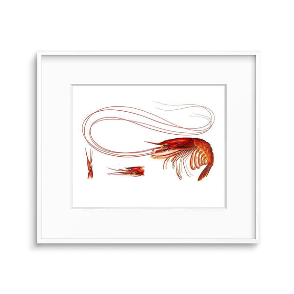 vintage shrimp illustration kitchen artwork