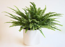 boston fern in an attractive white pot