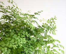 Maidenhair fern in an attractive white pot