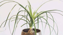 A potted ponytail palm plant.