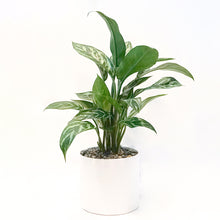Silver Bay Potted Plant