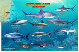 Belize Sharks & Rays