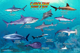 Sharks & Rays of the Carolinas
