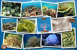 Fiji Coral Identification Guide Card