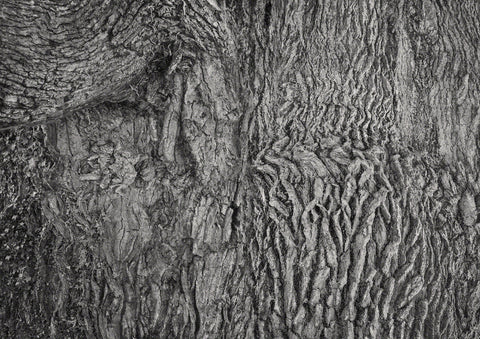 Black and White composite photograph of oak tree bark forming many images for interpretation. Here dancers and female figures