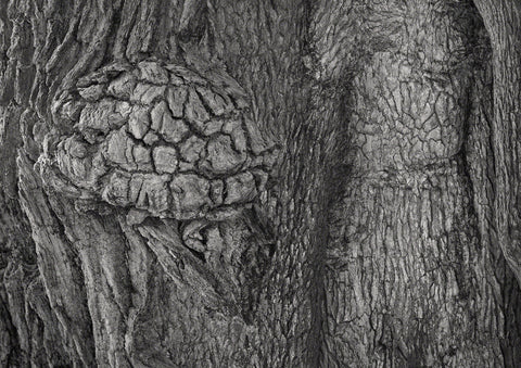 Black and White composite photograph of oak tree bark forming images for interpretation. Here mainly nude female and a brain