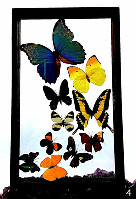 Butterflies Peruvian 10 Framed Specimens - New Earth Gifts