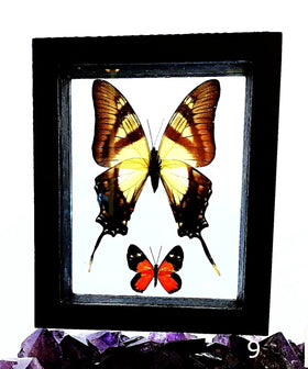 Butterflies Peruvian 2 Framed Specimens - New Earth Gifts