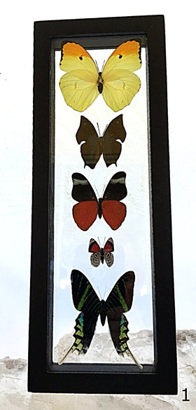 Butterflies Framed 5 Peruvian Specimens - New Earth Gifts