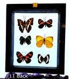 Butterflies Peruvian 6 Framed Specimens Back View - New Earth Gifts