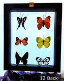 Butterflies 6 Framed Peruvian Specimens Back View - New Earth Gifts