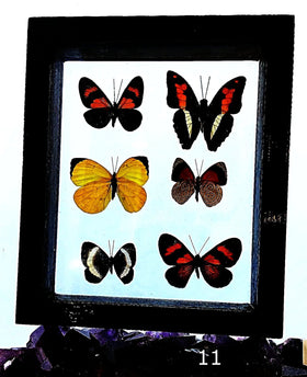 Butterflies Peruvian 6 Framed Specimens - New Earth Gifts