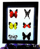 Butterflies 6 Framed Peruvian Specimens - New Earth Gifts