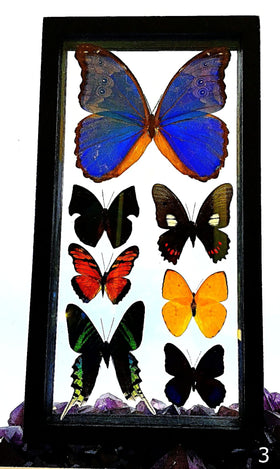 Butterflies Peruvian 7 Framed Specimens - New Earth Gifts
