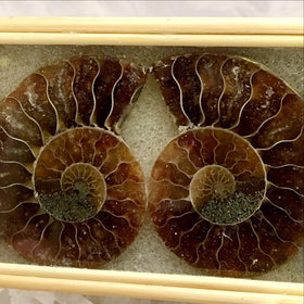 Framed Ammonites | New Earth Gifts