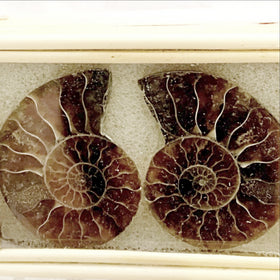 Moroccan Ammonite | New Earth Gifts