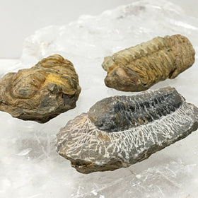 Trilobite Fossil 4 pc Set - New Earth Gifts and Beads