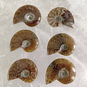 Whole Polished Opalized Ammonites | New Earth Gifts