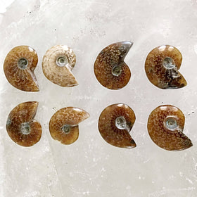Whole Polished Ammonite-Opalized | New Earth Gifts