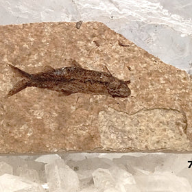Green River Fossil Fish - Knightia Herring For Sale New Earth Gifts