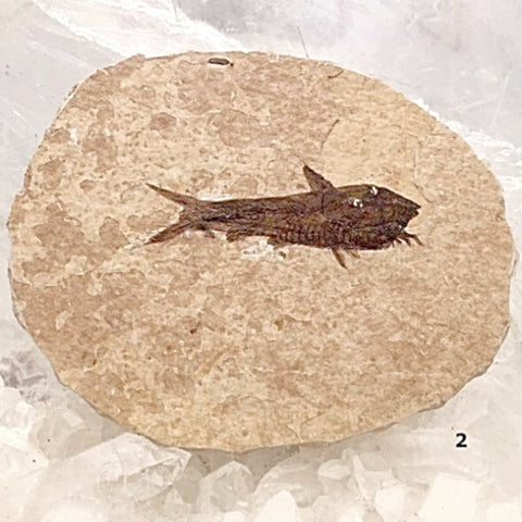 Green River Fish Fossil For Sale New Earth Gifts