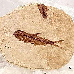 Green River Fish Fossil - Herring For Sale New Earth Gifts