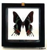 Framed Butterfly Urania Rypheus Back View - New Earth Gifts
