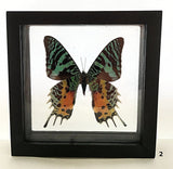 Framed Butterfly Urania Rypheus - New Earth Gifts