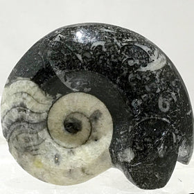 Goniatite-Ammonite Specimen - New Earth Gifts and Beads