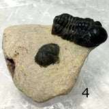 Trilobite Fossil on Matrix Specimen Several Choices - New Earth Gifts and Beads