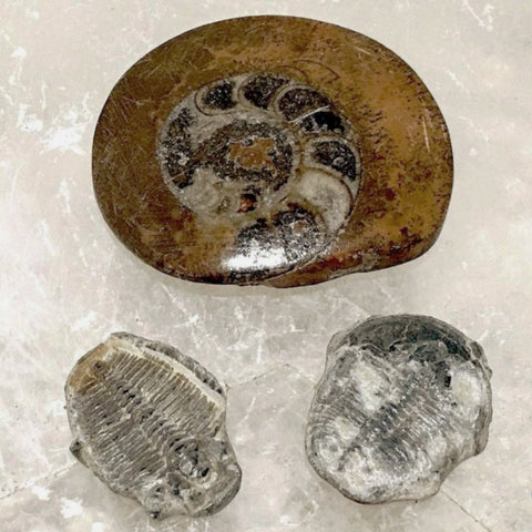 Ammonite and Trilobite Fossil Kit - New Earth Gifts and Beads