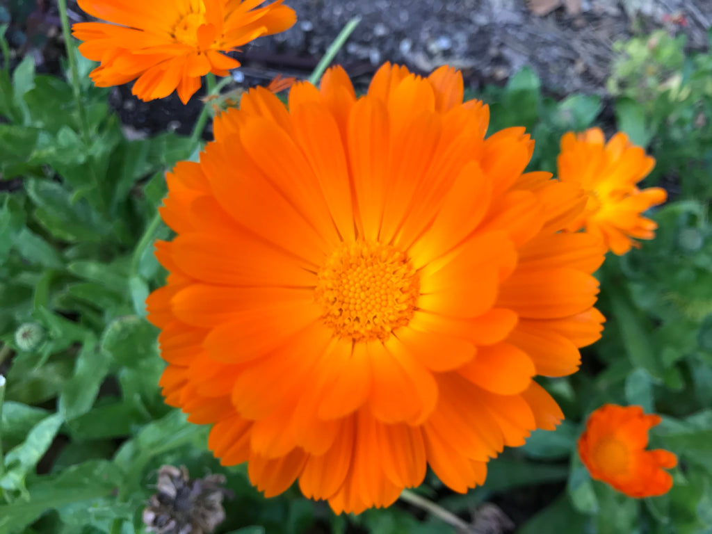 ShemeshFarms Calendula Seed Packet