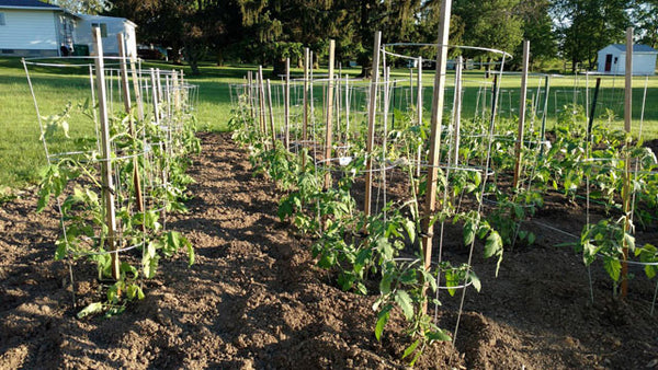 Garden from Tomato Seeds