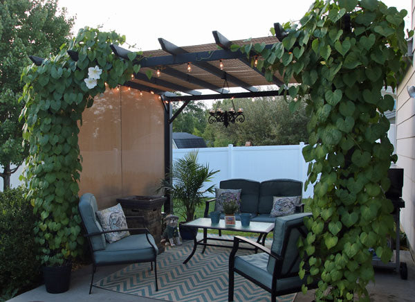 Giant White Moonflower Pergola