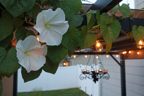 Giant White Moonflower on Pergola
