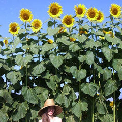 Sunflower American Giant F1