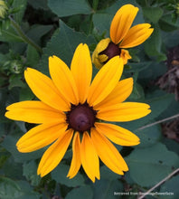 Load image into Gallery viewer, Rudbeckia, Indian Summer Mix