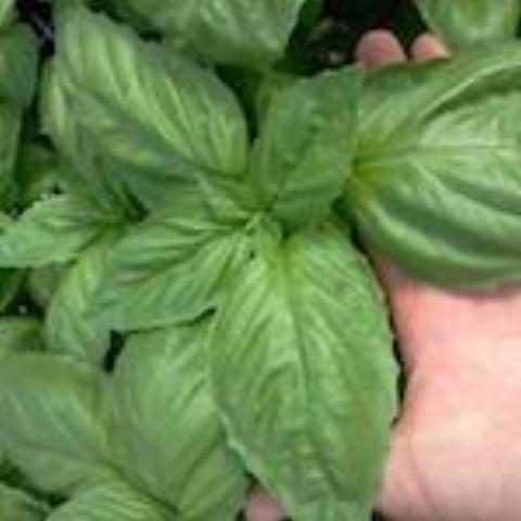 Basil - Large Leaf - Heirloom