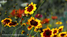 Load image into Gallery viewer, Coreopsis, Calliopsis