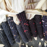 Corn - Hopi Blue - Heirloom