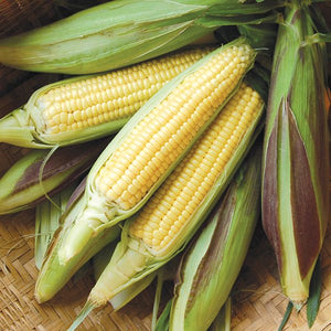 Corn, Sweet- Fisher's Earliest