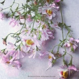 Schizanthus Angel Wings Mix
