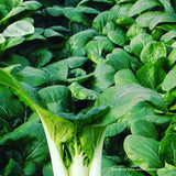 Chinese Cabbage - China Choy