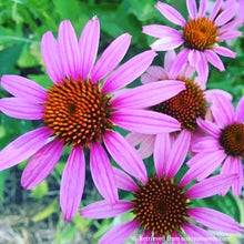 Load image into Gallery viewer, Echinacea - Purple Coneflower