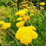 Yarrow, Golden