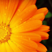 Load image into Gallery viewer, Calendula, Pacific Beauty Mix